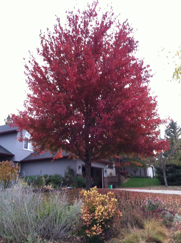 large maple tree with red leaves
