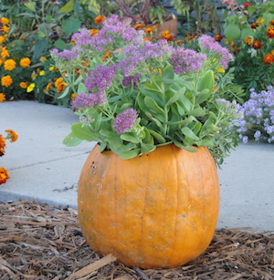 pumpkin planter with sedum