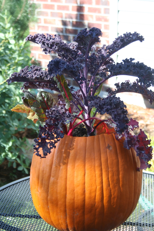 purple kale planted in pumpkin