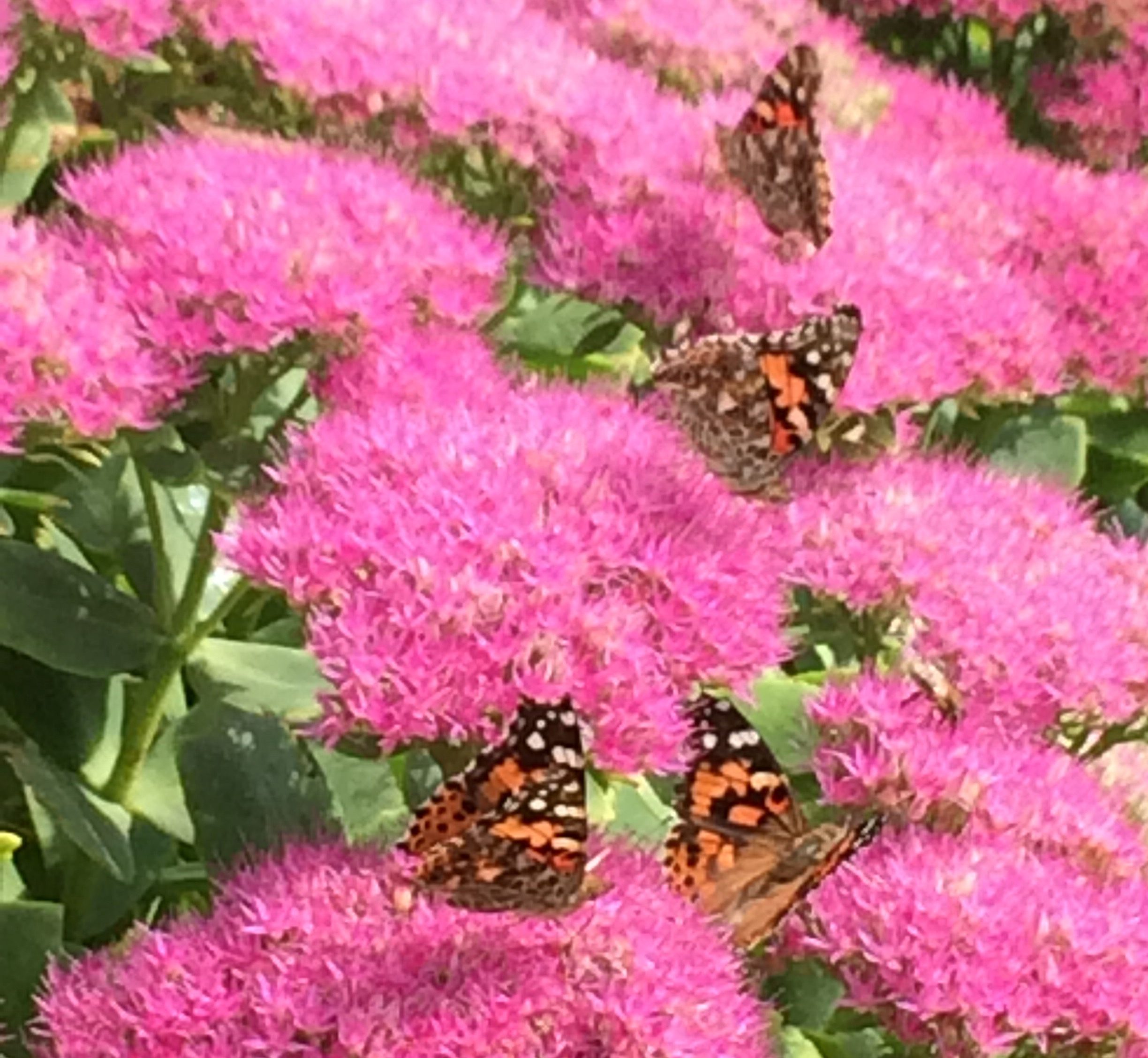 butterflies on pink flower
