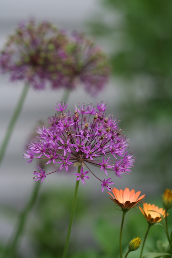Purple allium bloom with orange flower