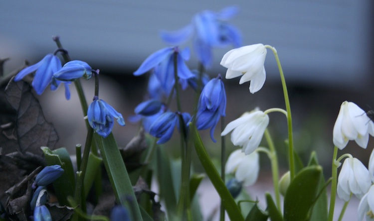 blue and white bulbs in bloom