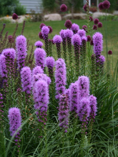 purple bottlebrush flowers on liatris