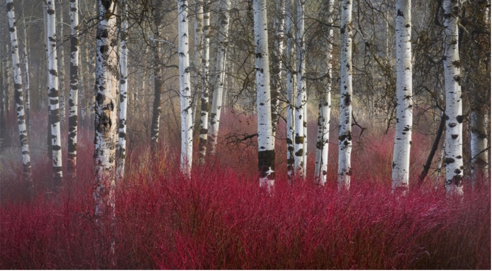 bright red shrub and white birch