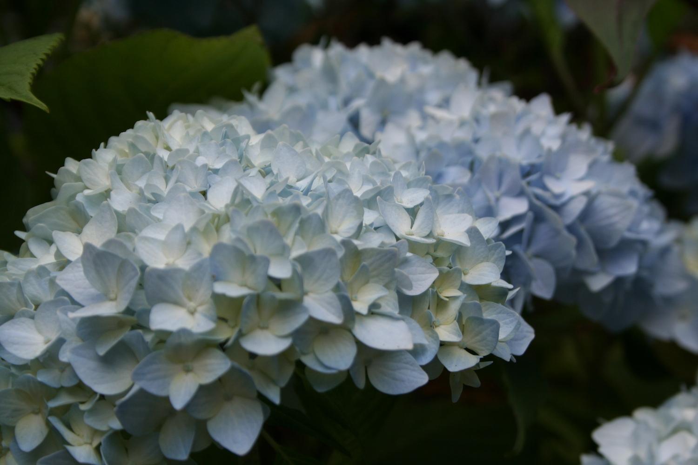 blue hydrange