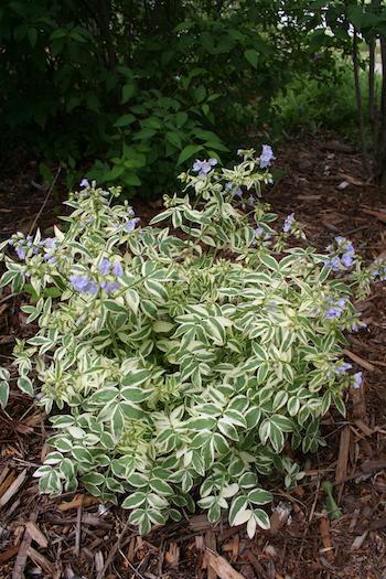 variegated bush like plant