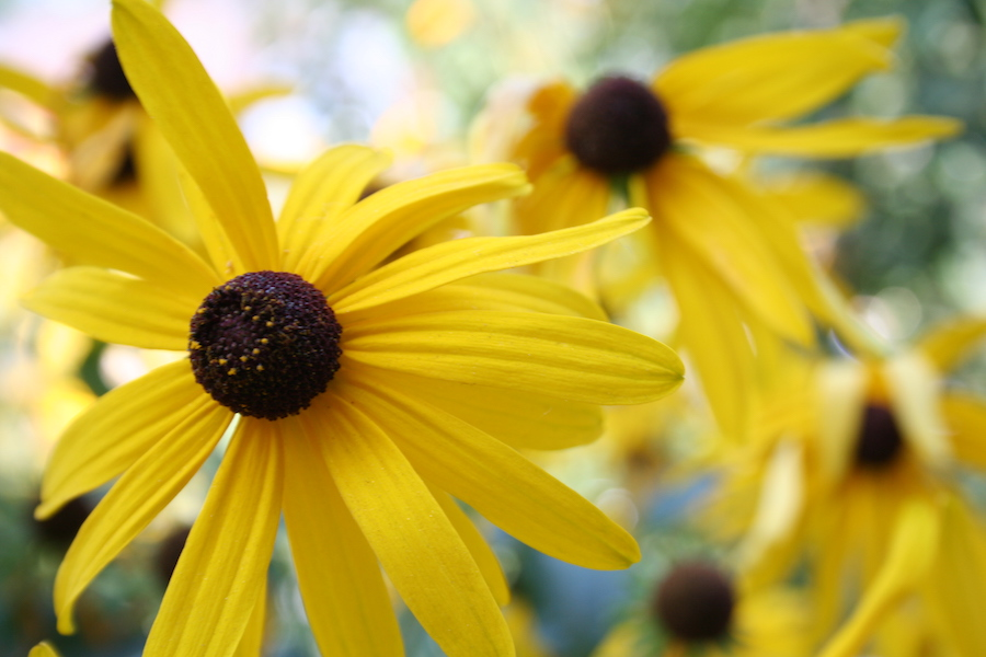 bright yellow black eyed susans