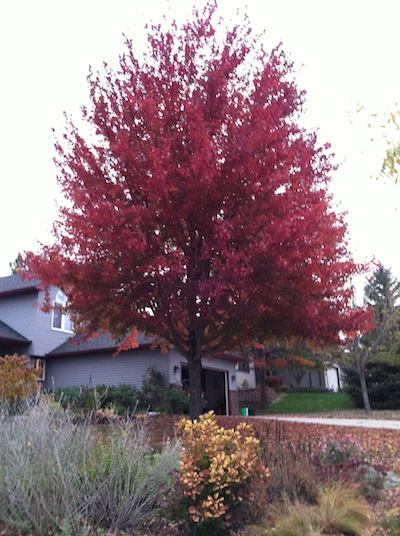 red maple in fall