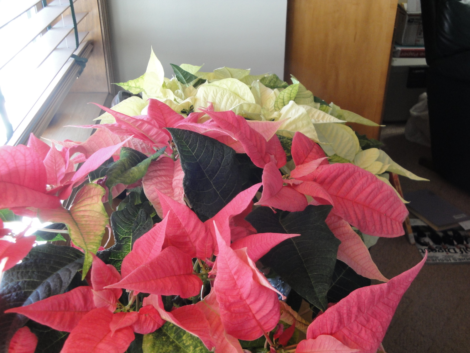 pink and white poinsettias