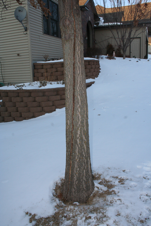 oak tree with large crack