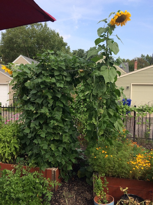 bean arch with sunflower