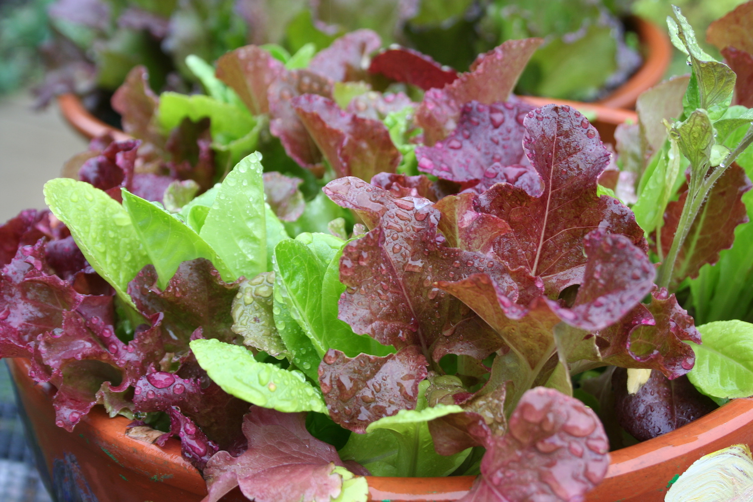 Leaf lettuce in bowl