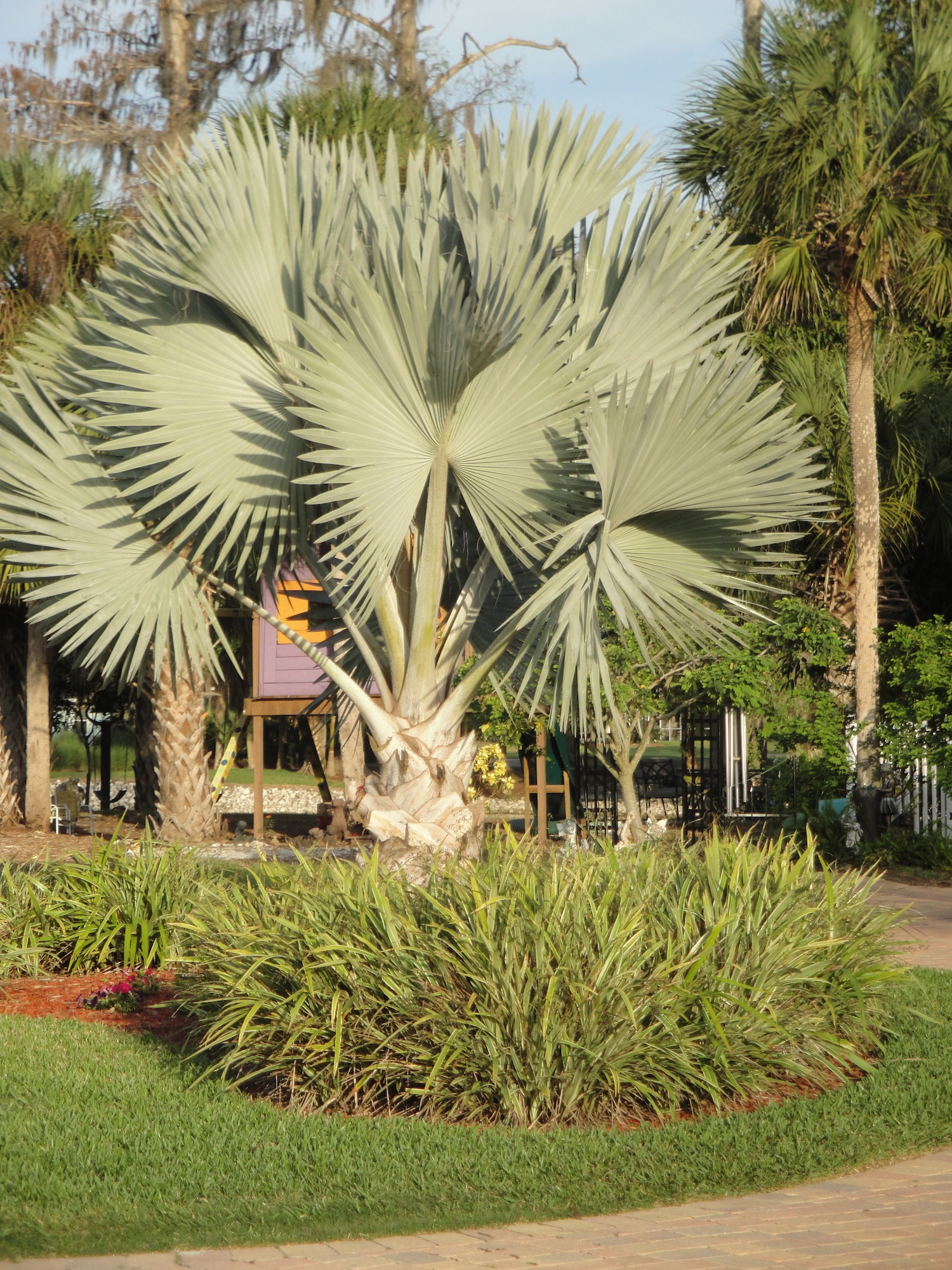palm tree in naples, florida