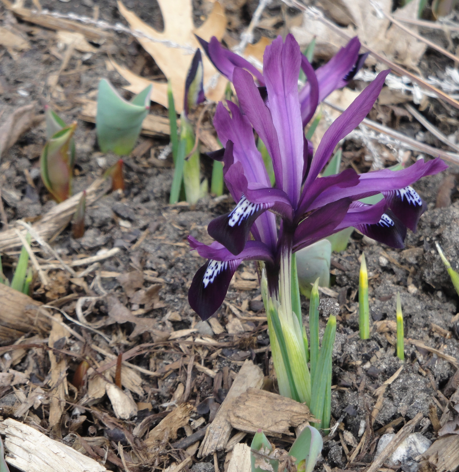 Iris reticulata in bloom