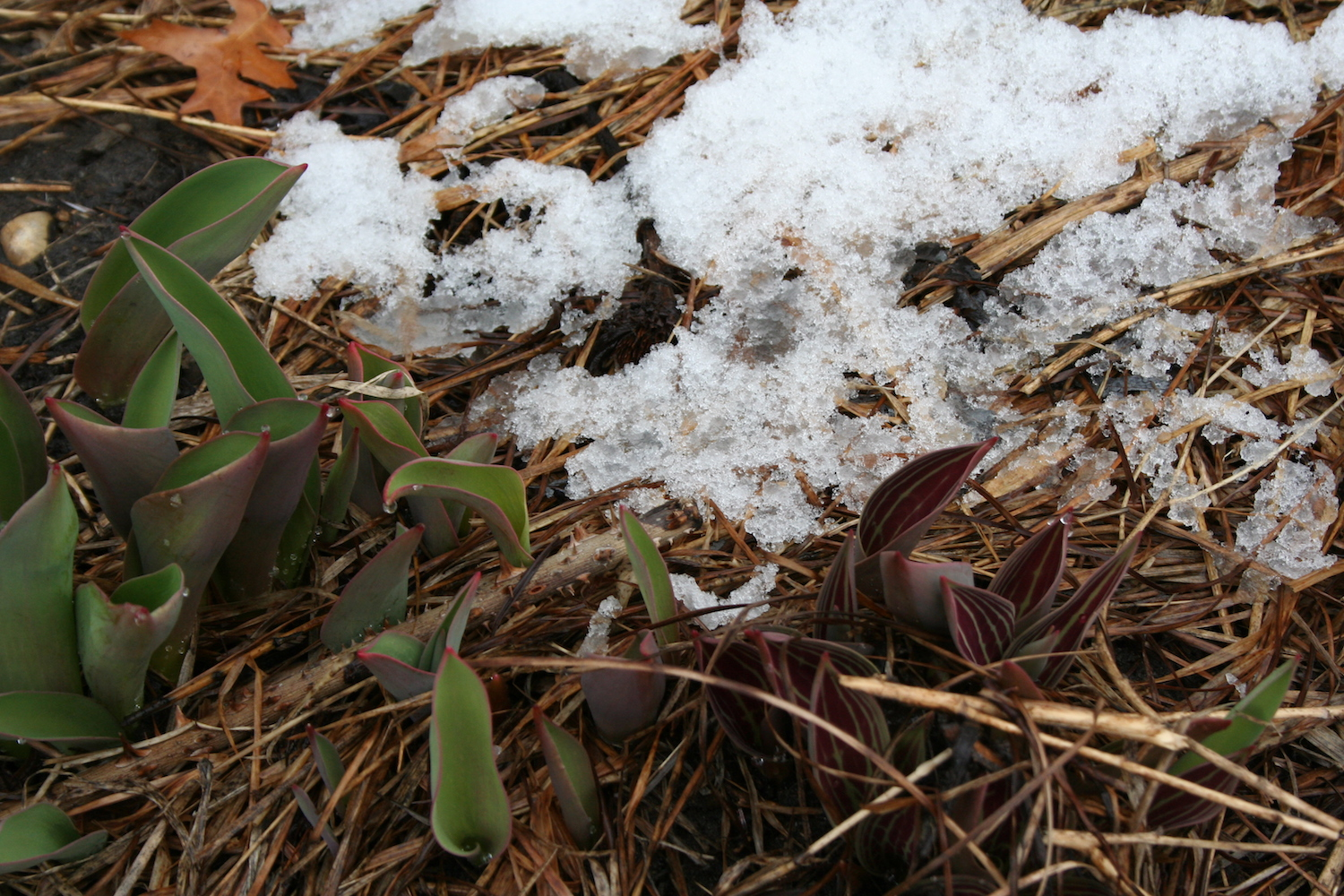 squill emerging in snow