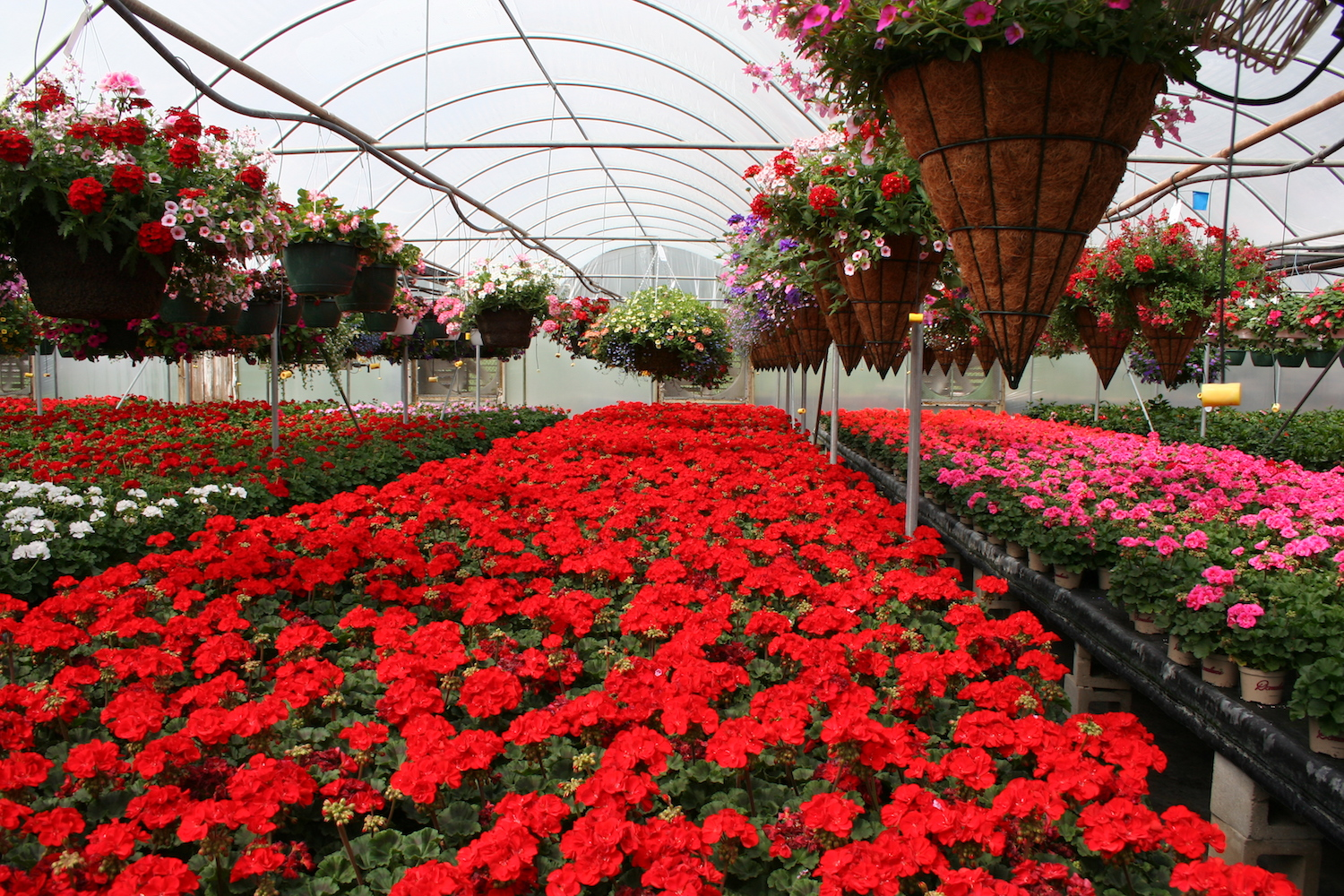 red geraniums in large number