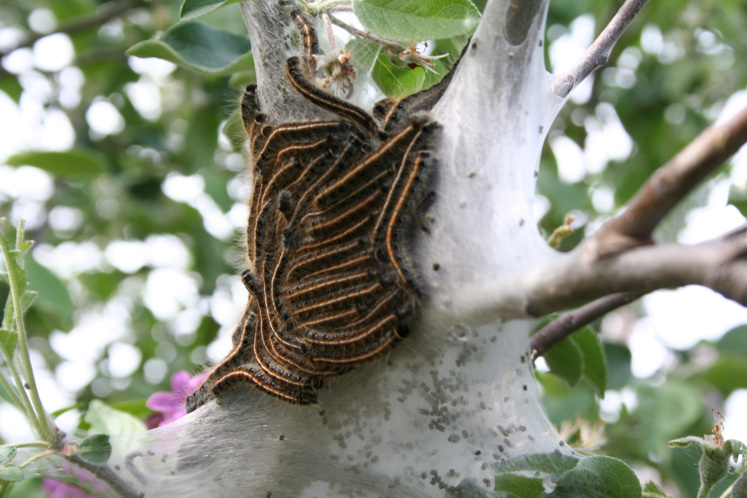 caterpillars near next in apple tree