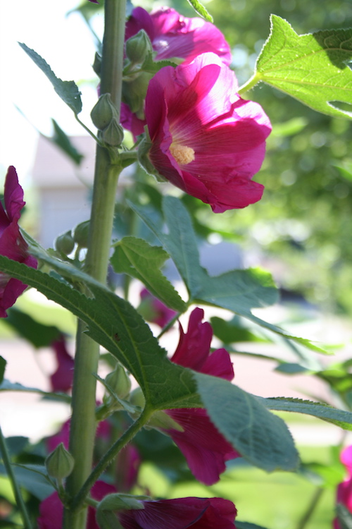 deep pink hollyhock bloom