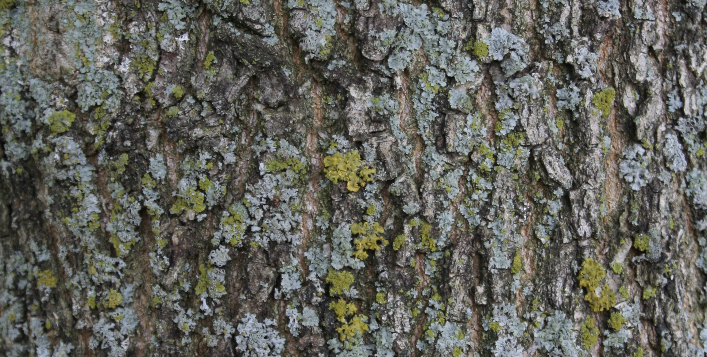 bark of ash tree