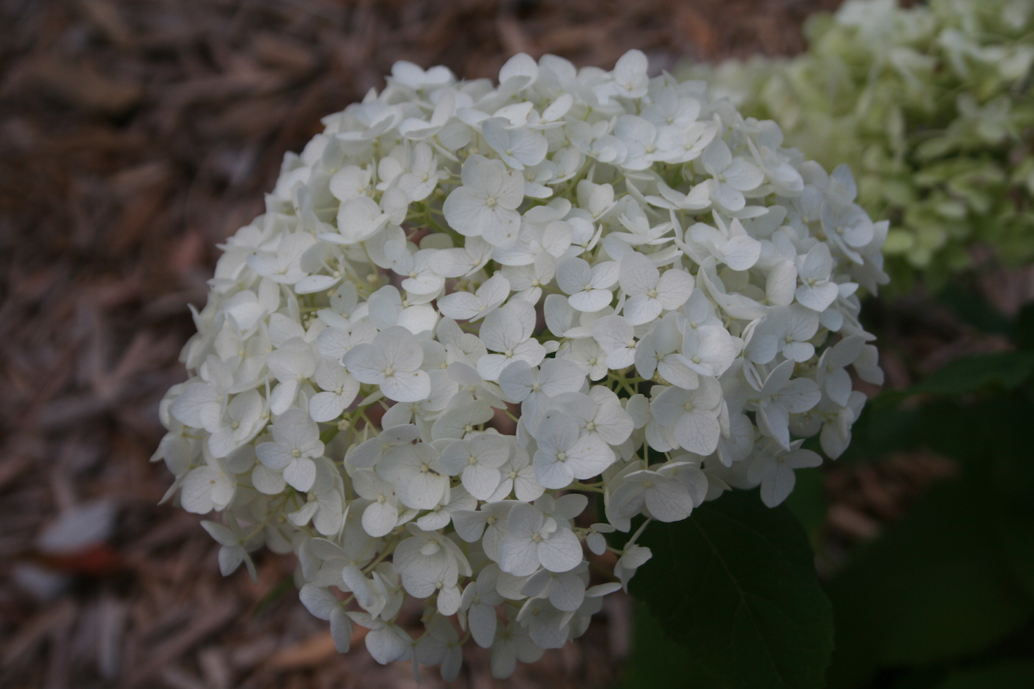 white hydrangea bloom