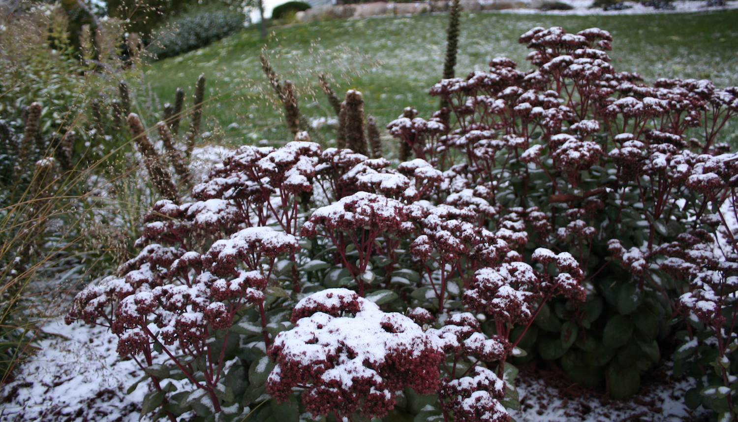 October snow on sedum