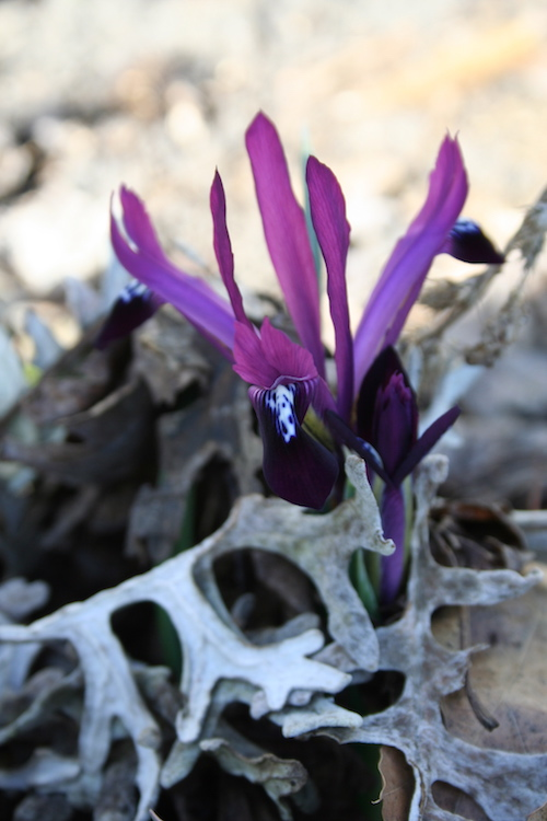 Iris reticulata bloom