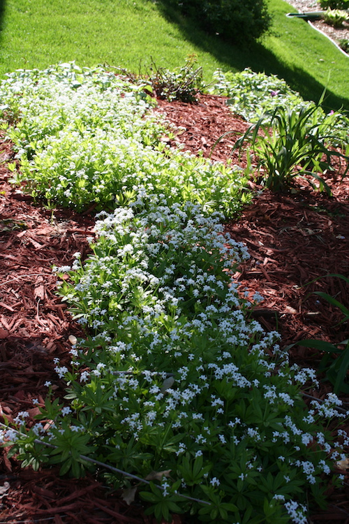 white flowering groundcover