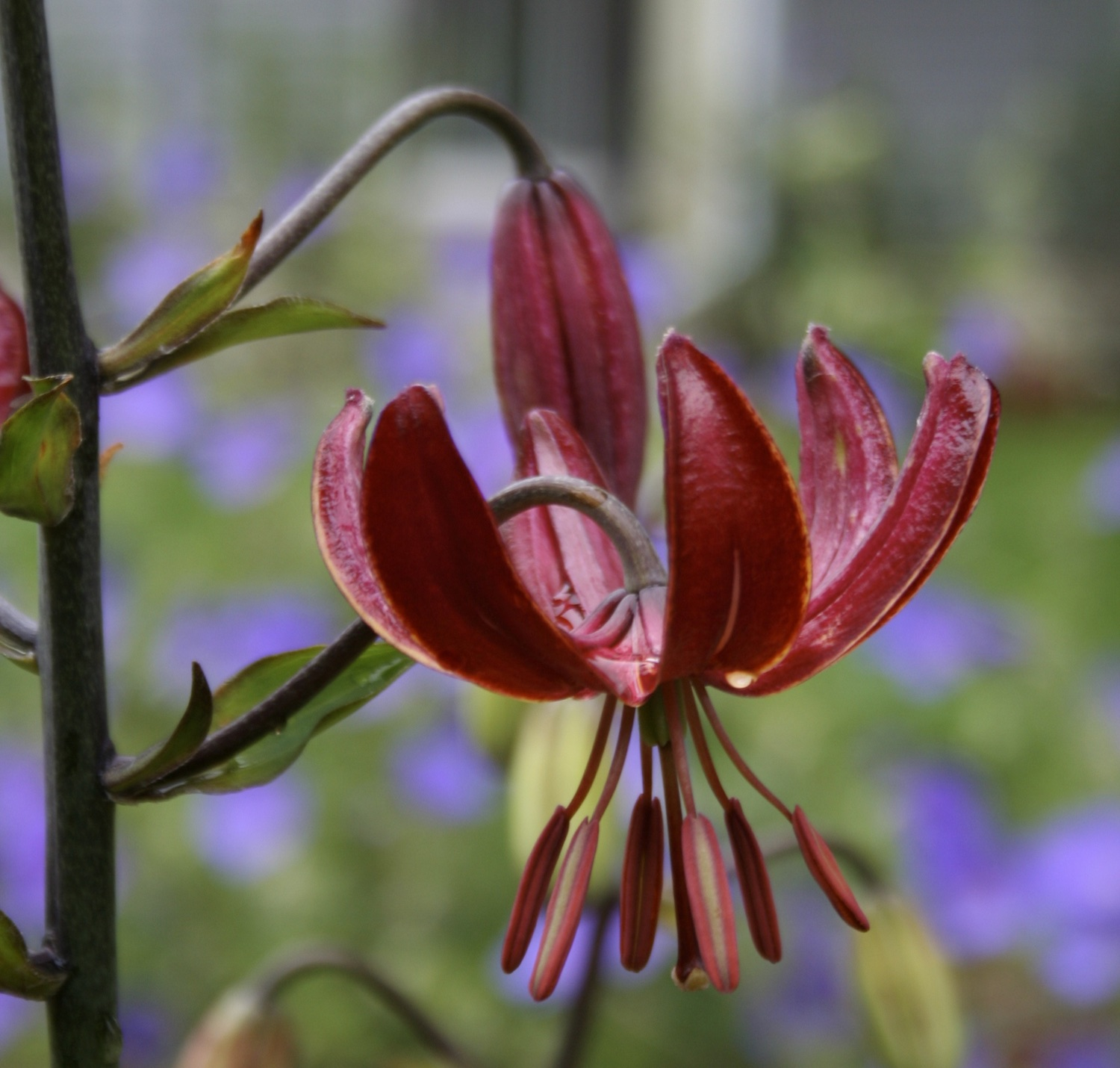 close up of maroon lily