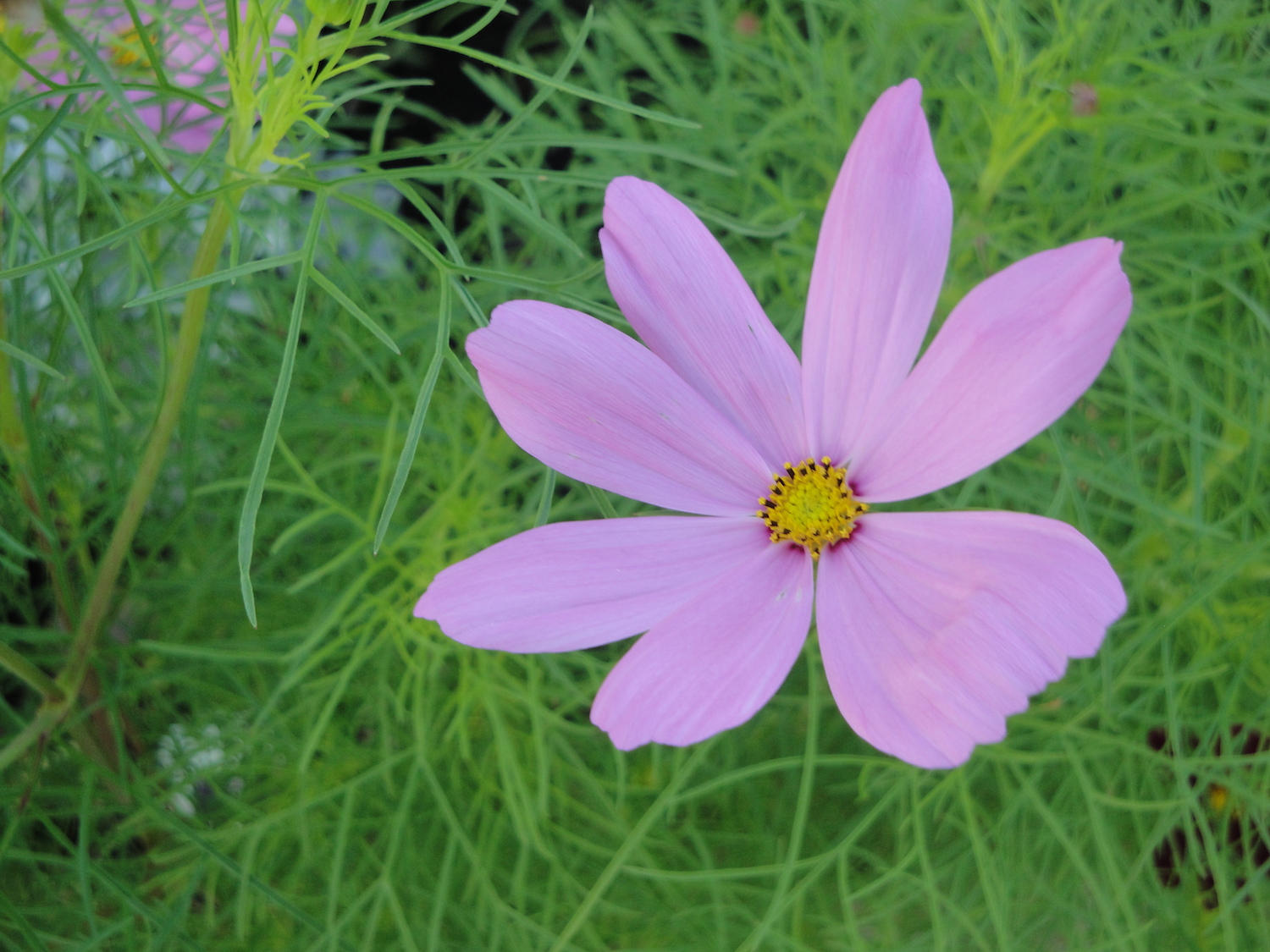 pink cosmos bloom