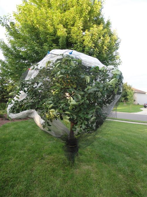 tree under netting