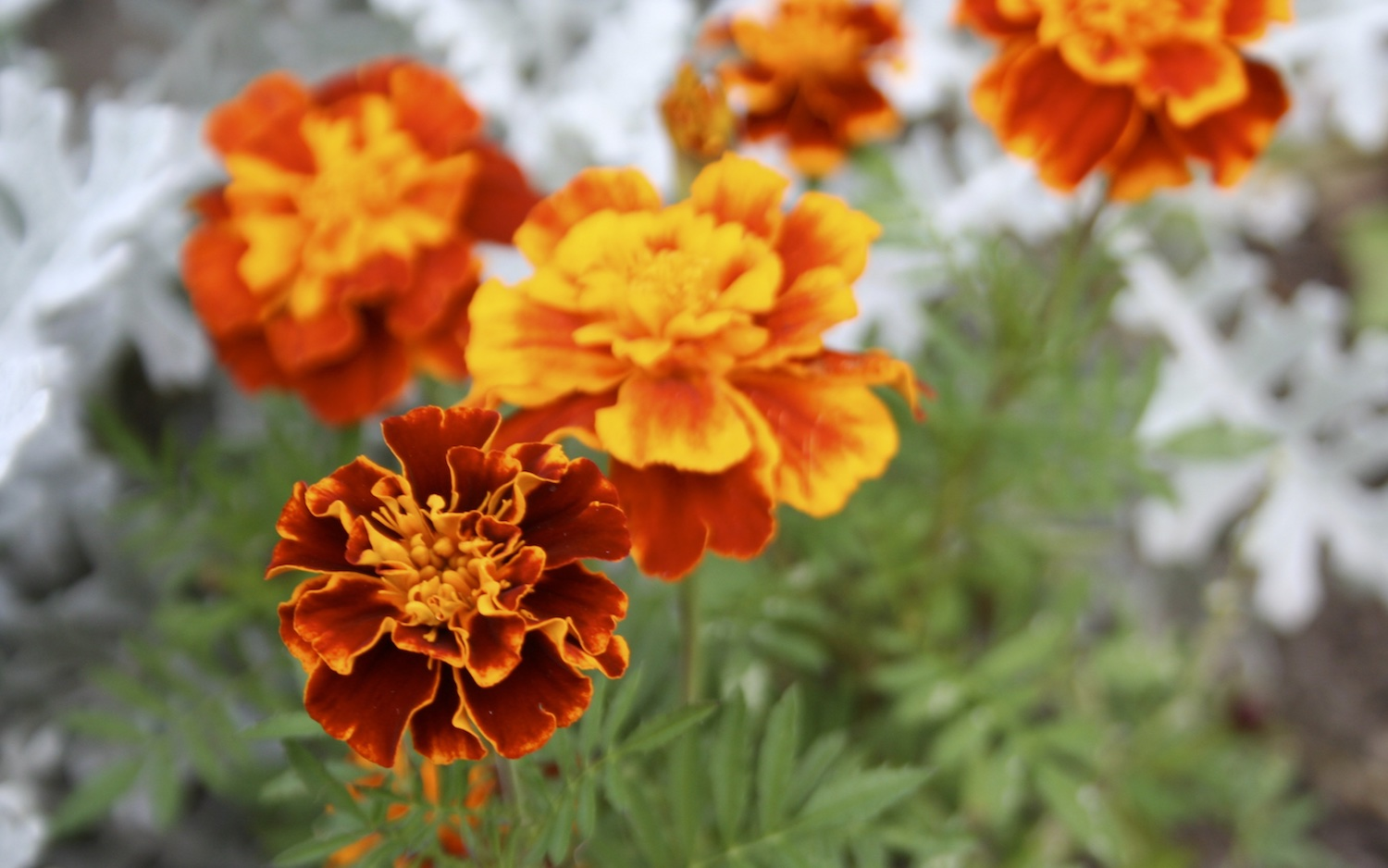 orange marigold in bloom