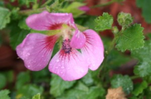 'Slightly Strawberry' cape mallow
