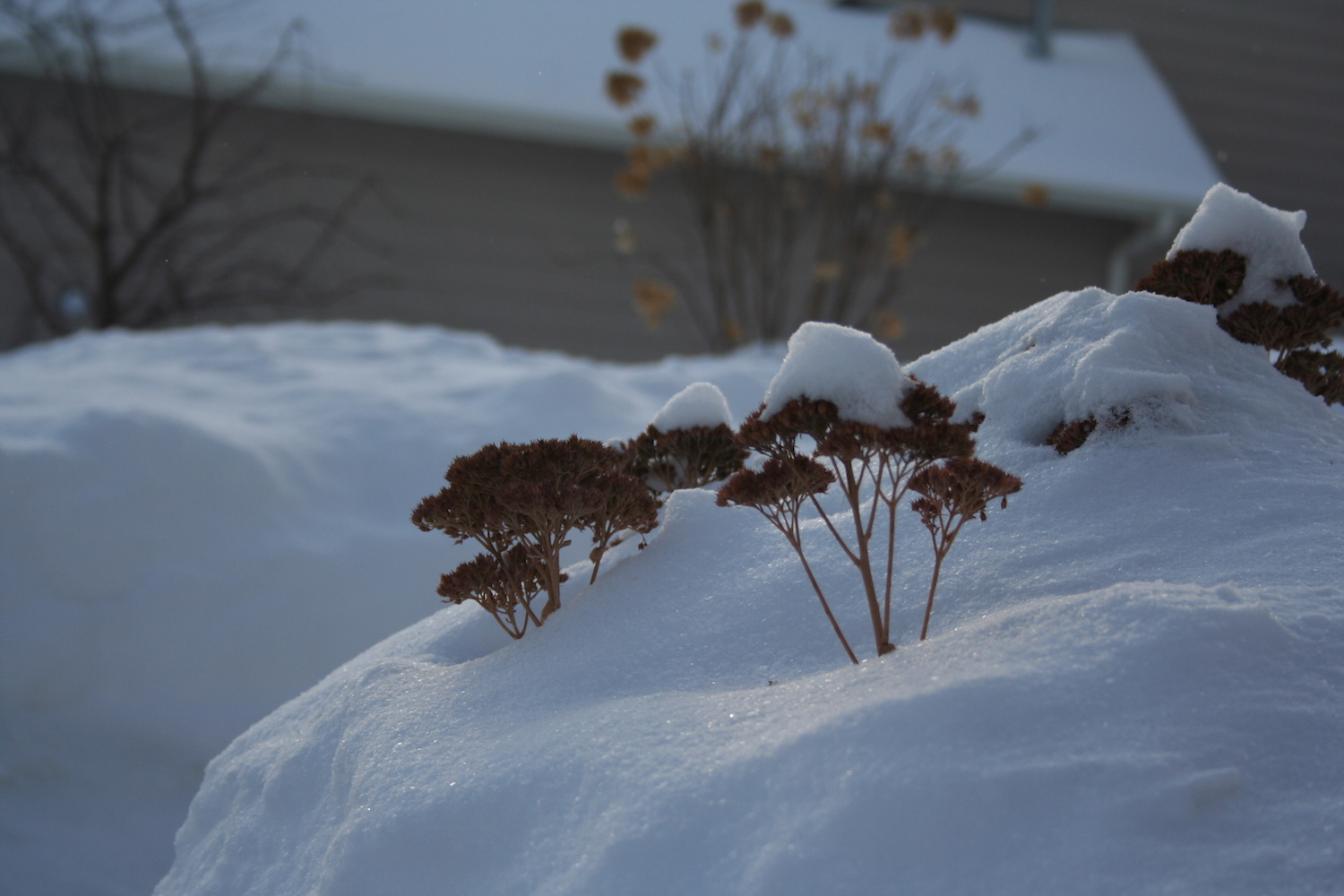 plant buried in snow