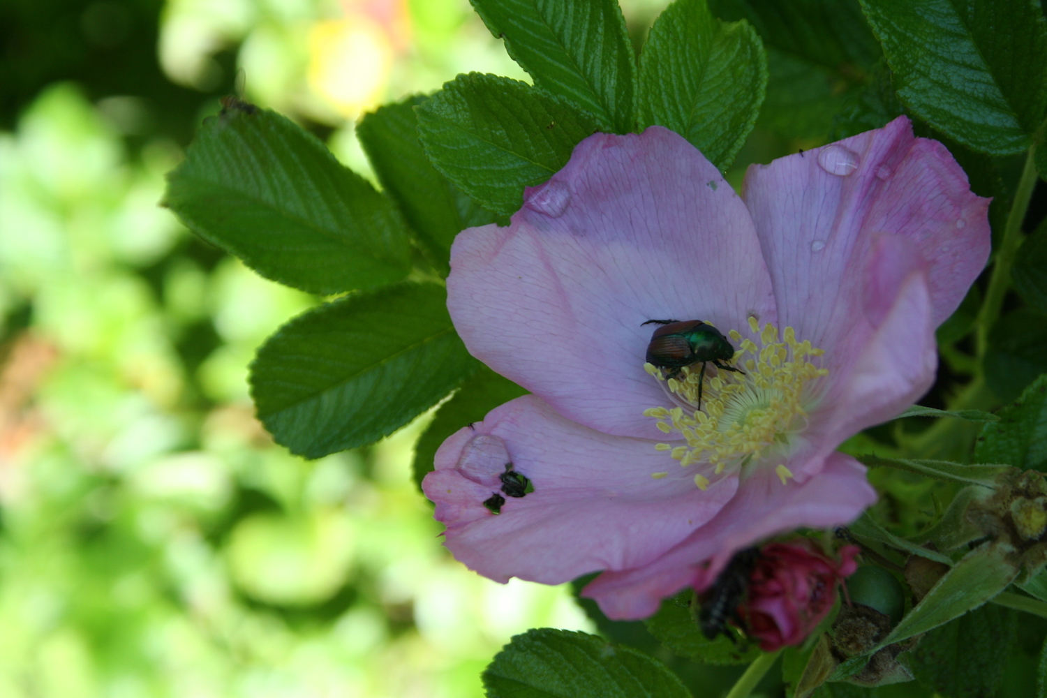 Japanese beetle on healthy rose
