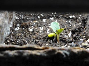 lupine seedling