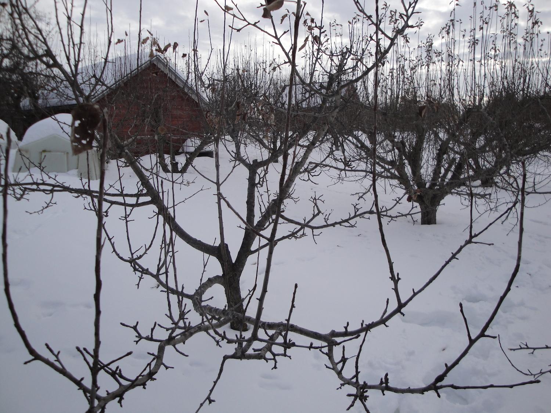 properly pruned apple tree