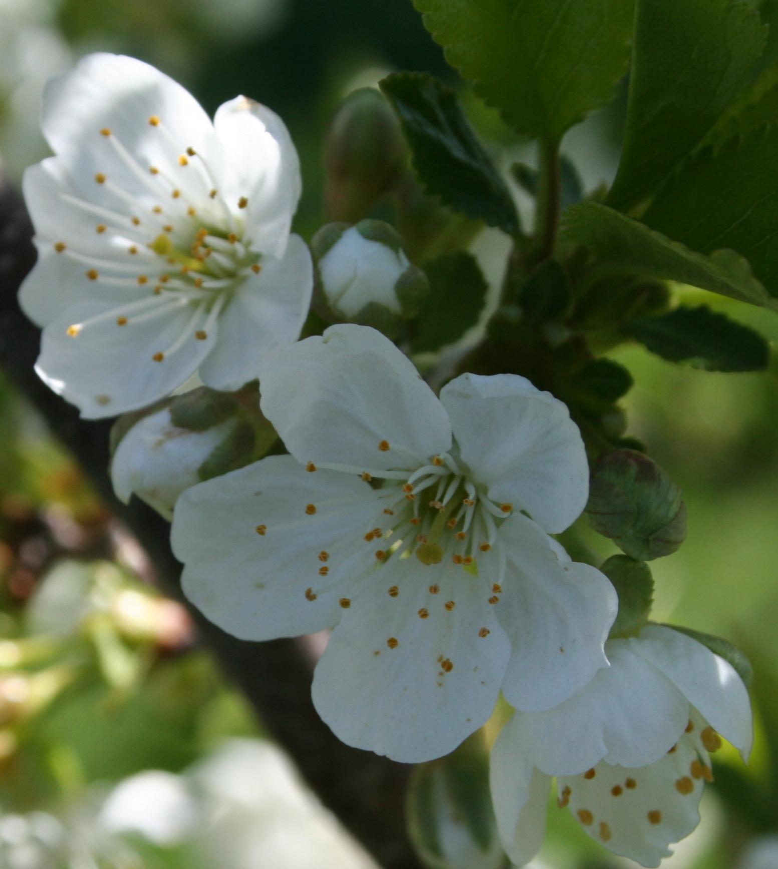 bali cherry blossoms