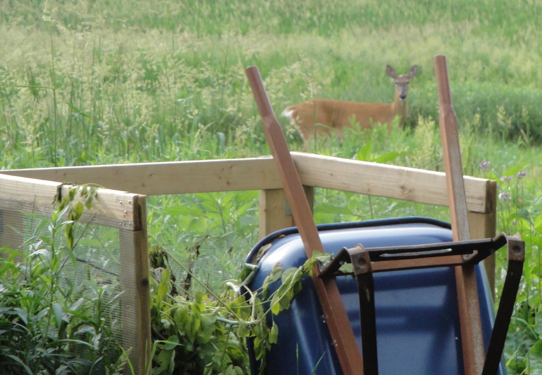 deer looking at garden