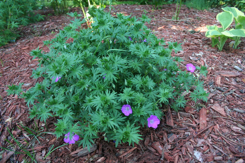 small geranium plant
