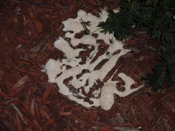 slime mold on mulch