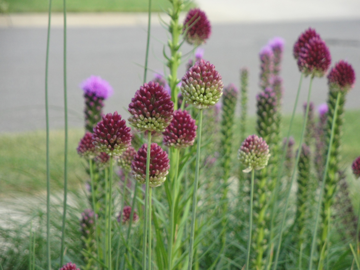 purple red allium blooms