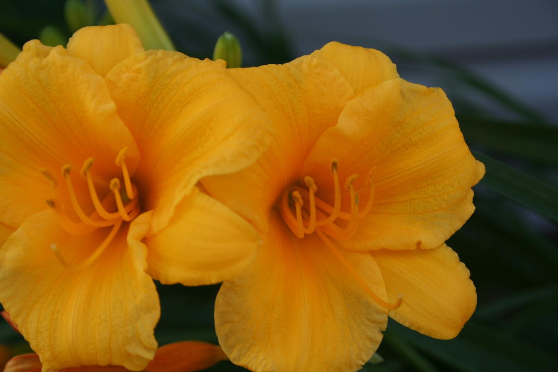 yellow stella d oro daylily blooms