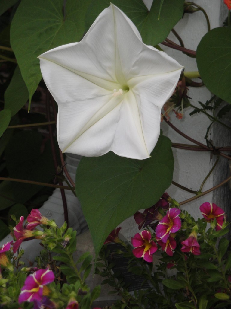 white moon flower in blom