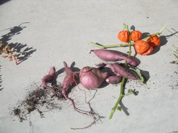 sweet potato vine tuber