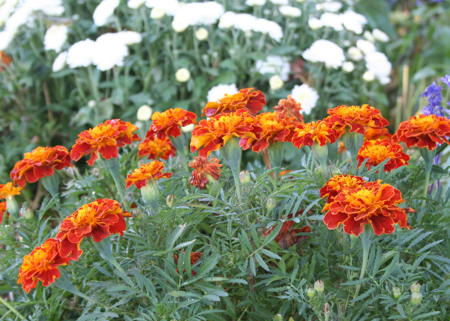 marigolds can be a fall bloomer