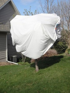Bali cherry tree covered with sheets