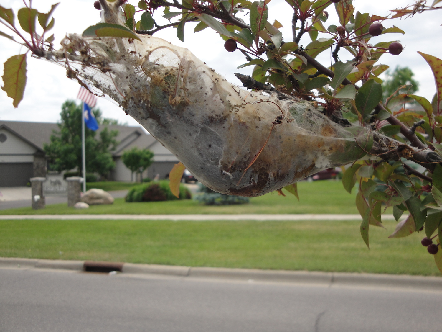 Easter tent caterpillar nest