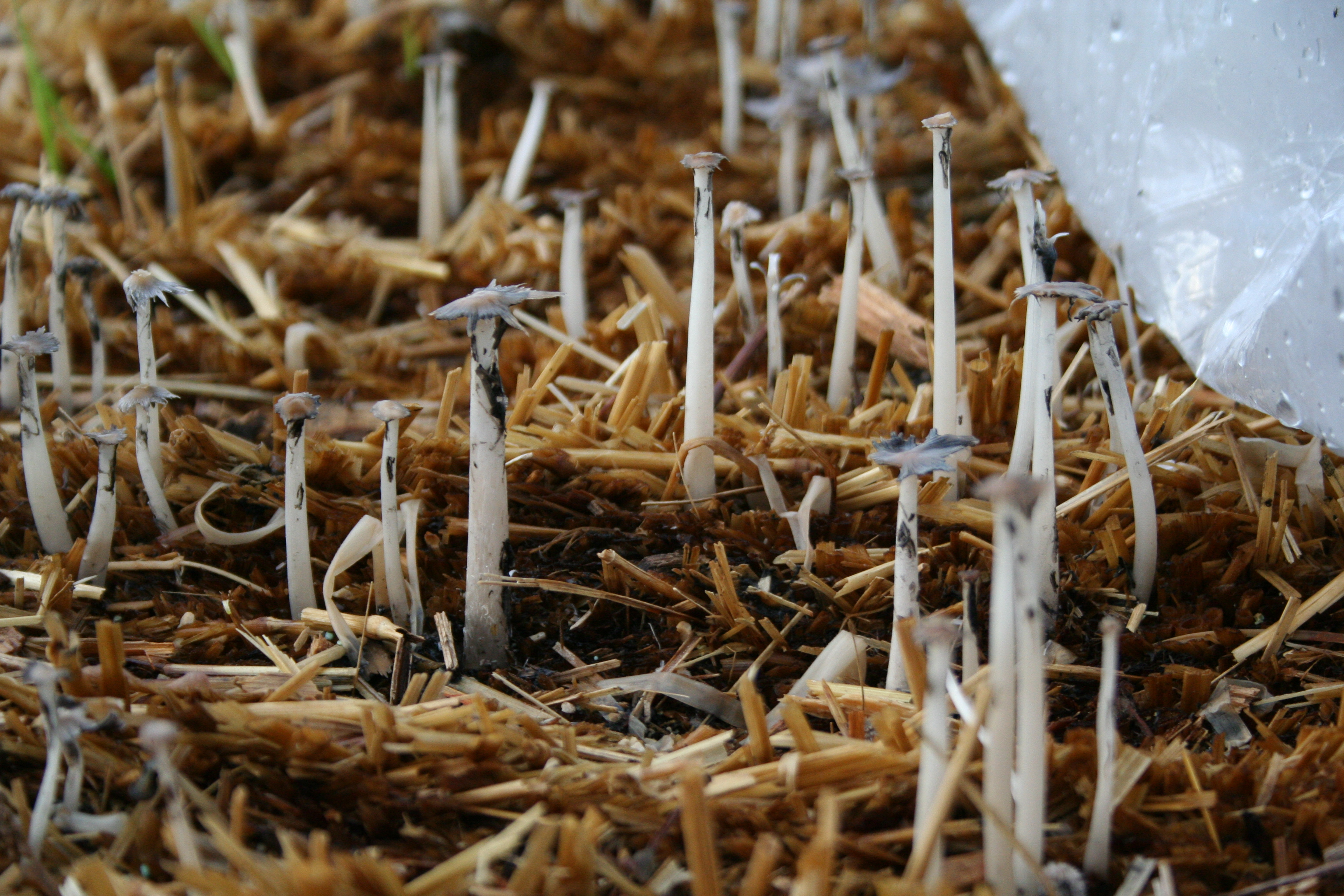 Something is Growing in the Straw Bales My Northern Garden