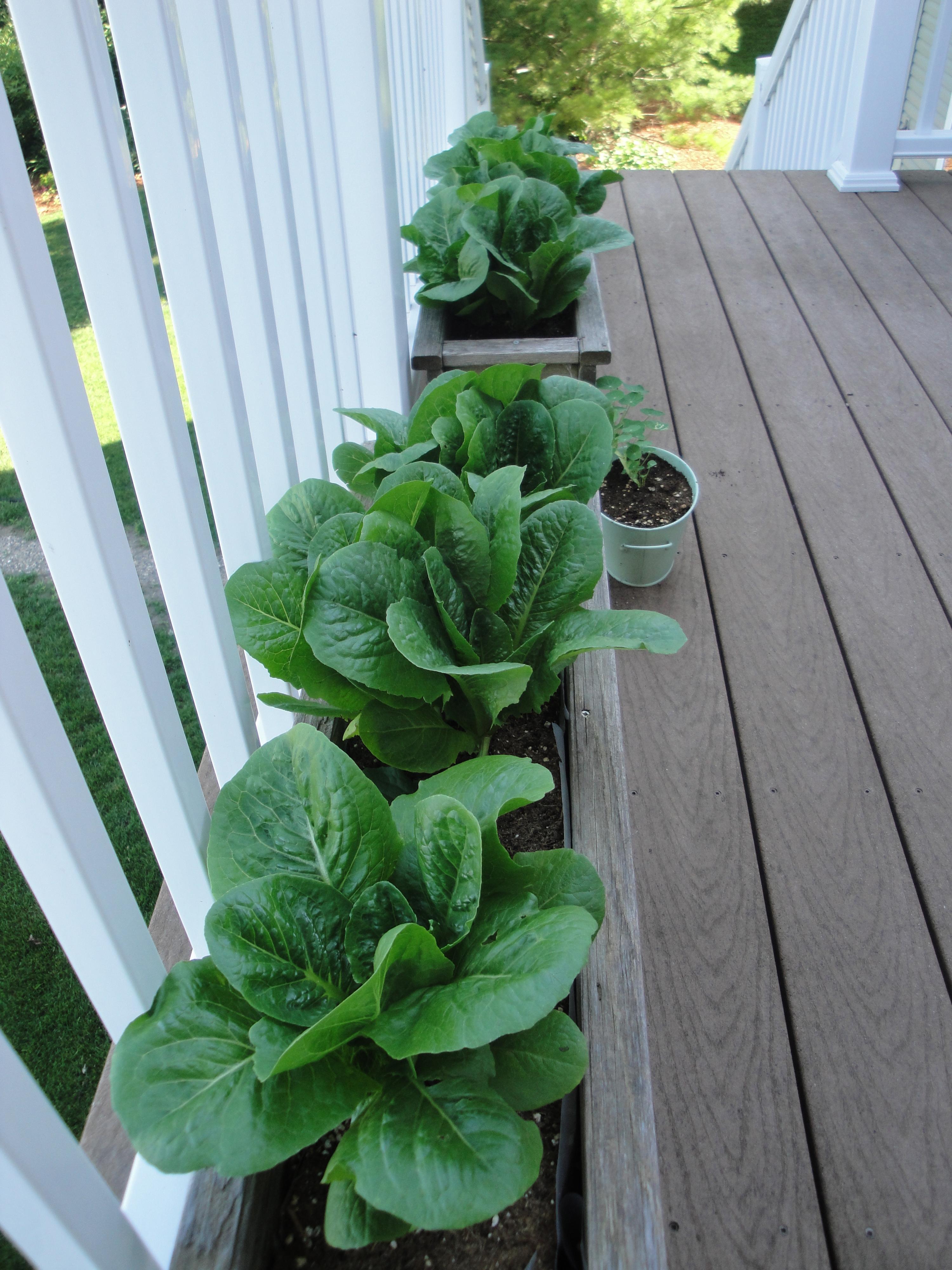 Deck Garden Lettuce ...