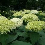 Sea of hydrangea bloom